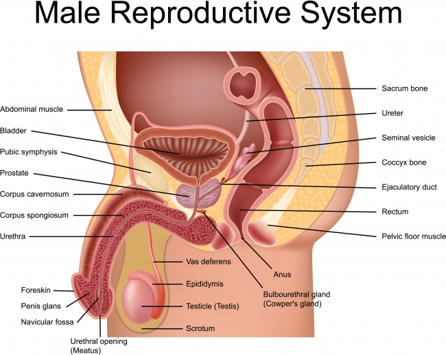 Male Reproductive System Glands